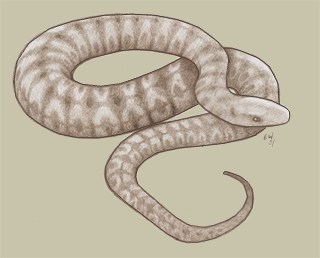giant thicket viper